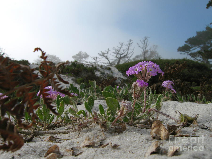 Abronia Umbellata Photograph - Dune Bloom by James B Toy