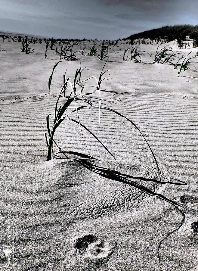 Dune Photograph - Dune Grass Sand Etching by Stephanie McGuire