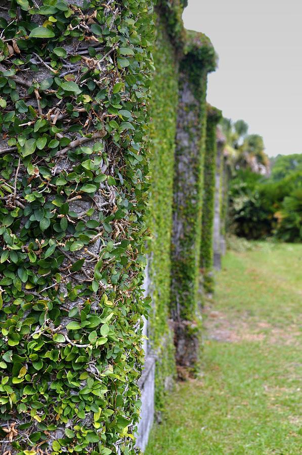 Cumberland Island Photograph - Dungeness Ivy Wall by Debra White