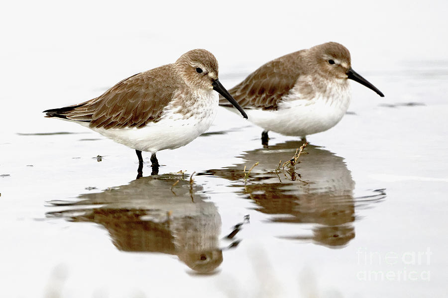 Sandpiper Photograph - Dunlin Seeing Double by Sue Harper