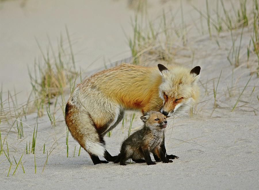 Male Fox Photograph -  Dunr Fox Father And Child by Susan Ballard