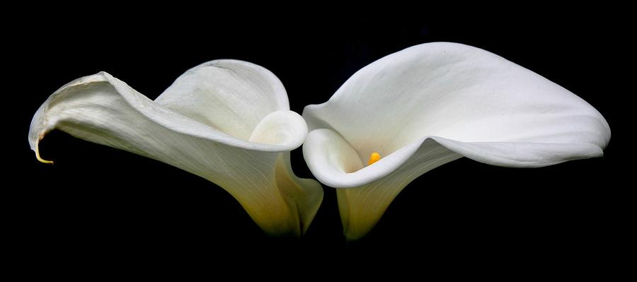 Calla Lilly Photograph - Duo by Cathie Tyler