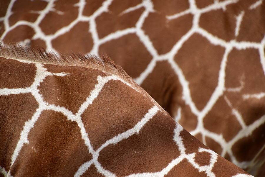 Duo Giraffe Pattern Photograph By Mihaela Pater Mesmerizing Giraffe Pattern