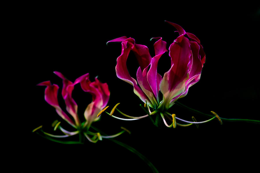 Pink Photograph - Duo Lily by David Paul Murray