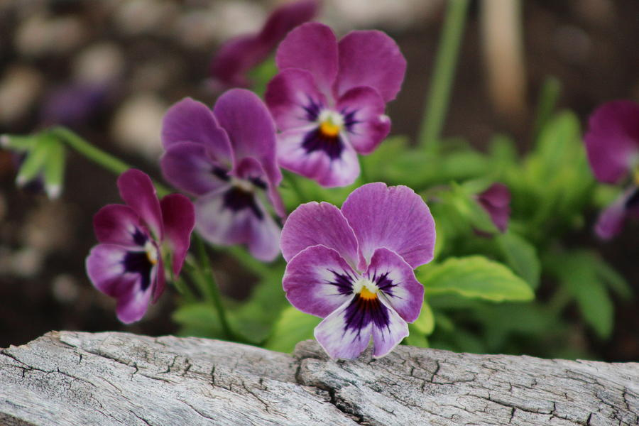 Rustic Wood Photograph - Duo Tone Purple Pansies and Rustic Wood by Colleen Cornelius