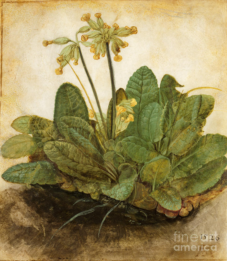 15th Century Photograph - Durer Tuft Of Cowslips by Granger