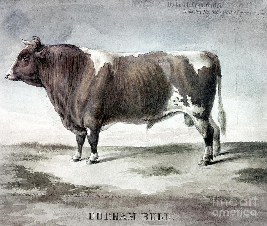 1856 Photograph - Durham Bull, 1856 by Granger