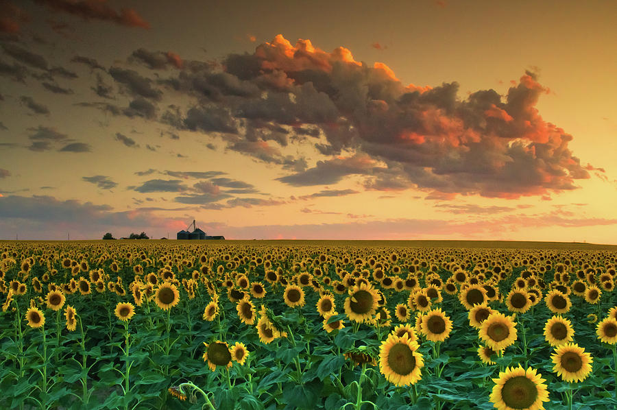 Sunflower Photograph - Dusk by John De Bord
