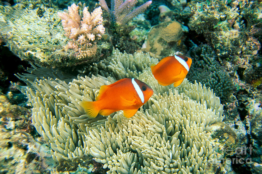 Anemone Photograph - Dusky Clownfish by Dave Fleetham - Printscapes