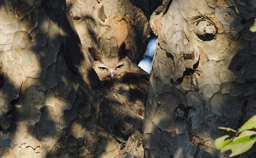 Dusky Photograph - Dusky Horned Owl  by Manjot Singh Sachdeva