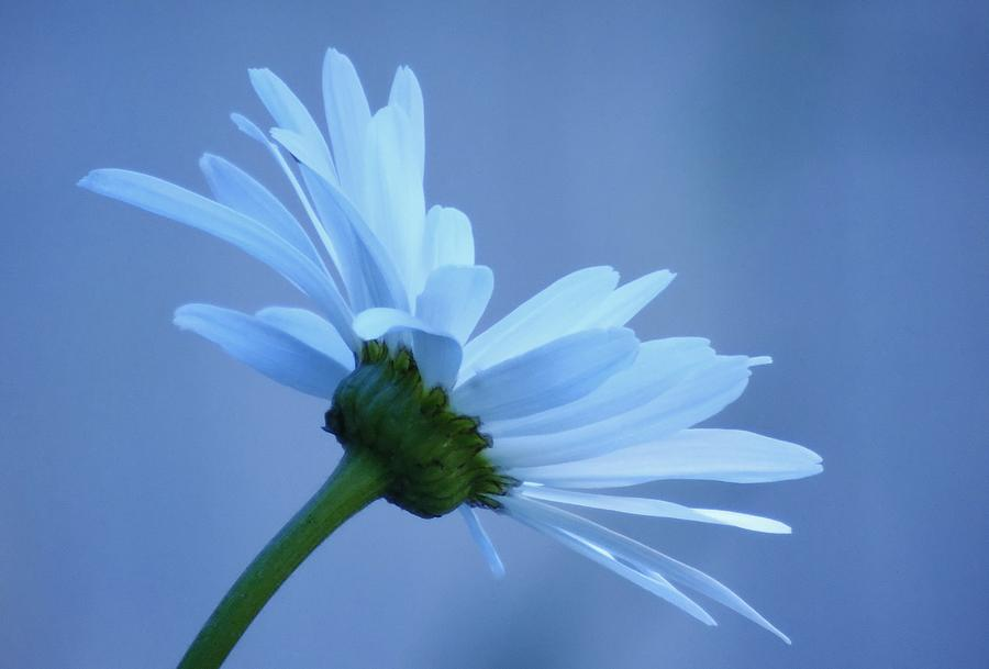 Dusty Blue Daisy by Barbara St Jean