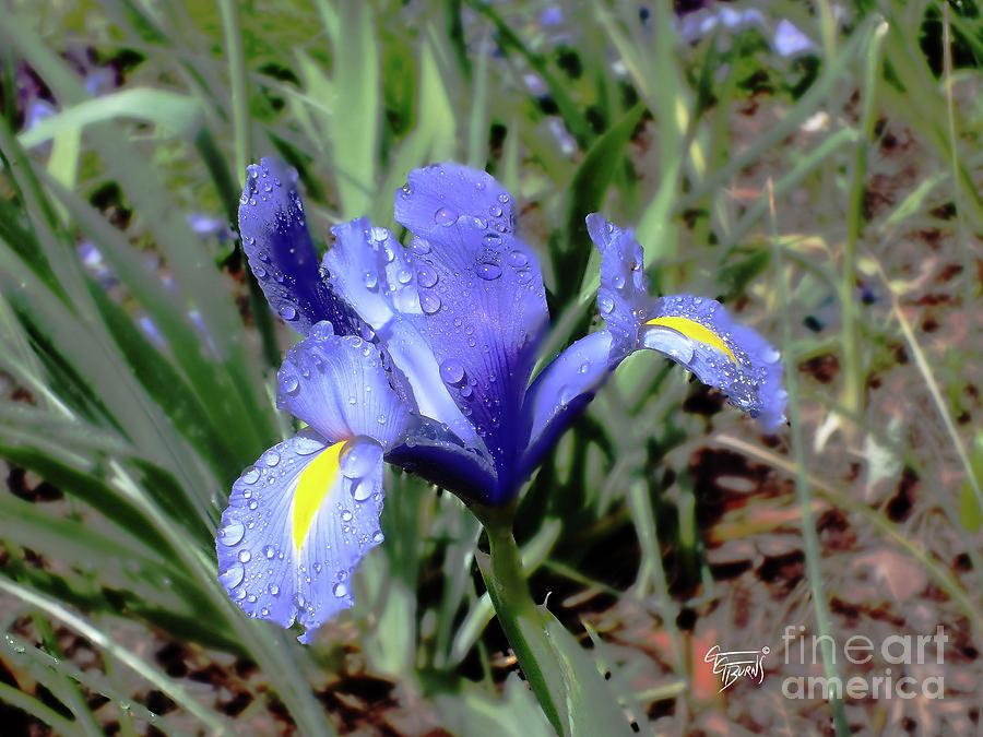 Dutch Iris Raindrops by GG Burns
