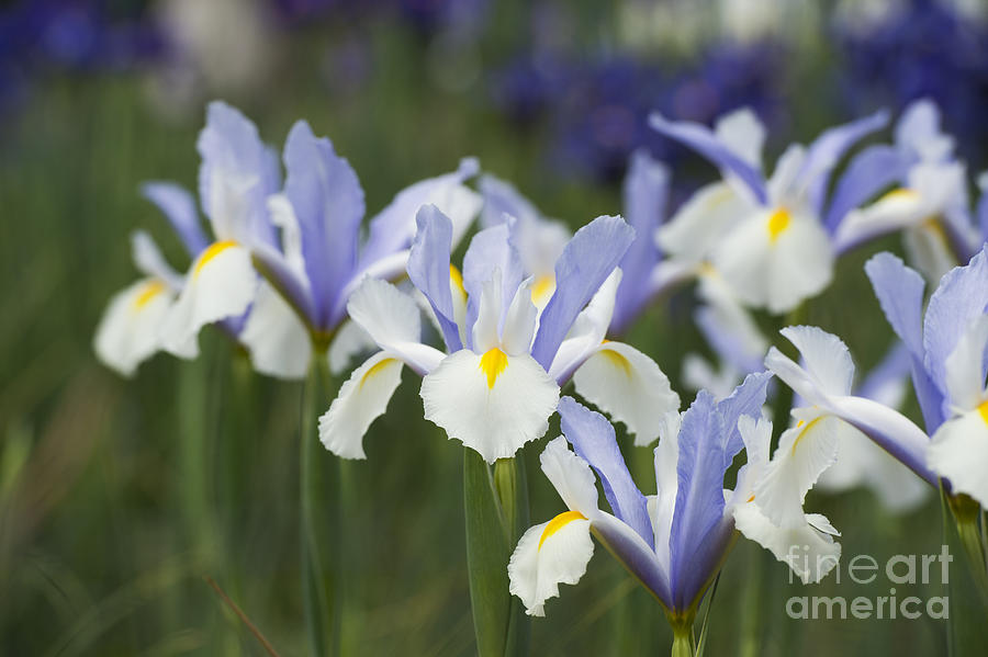 Dutch Iris Silver Beauty