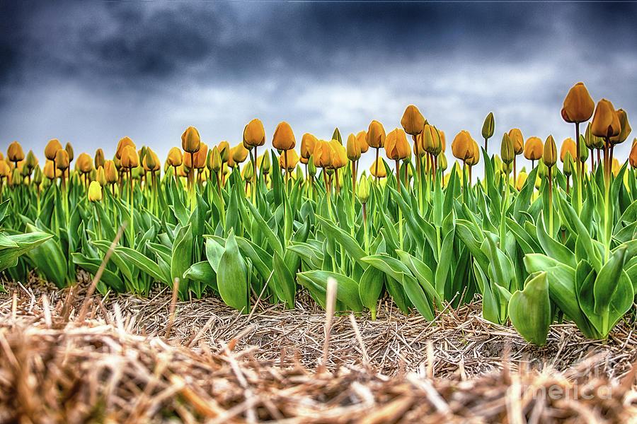 Dutch Yellow Tulips on a Rainy day by Alex Hiemstra