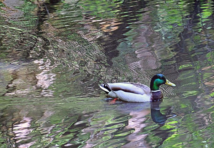 Mallard Photograph - Duck Patterns by Suzy Piatt