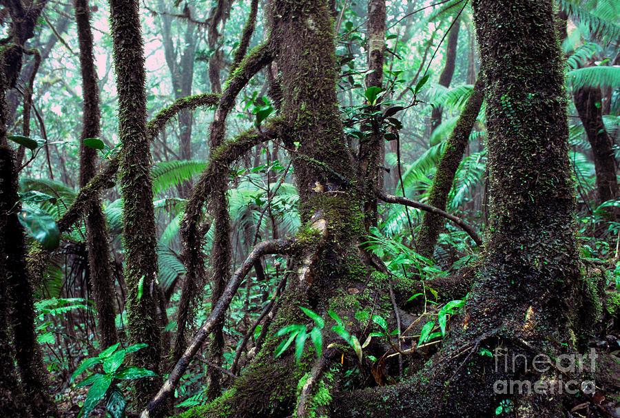 Puerto Rico Photograph - Dwarf Forest Mist El Yunque by Thomas R Fletcher