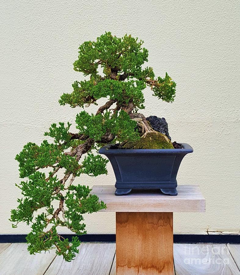 Dwarf Japanese Garden Juniper Bonsai