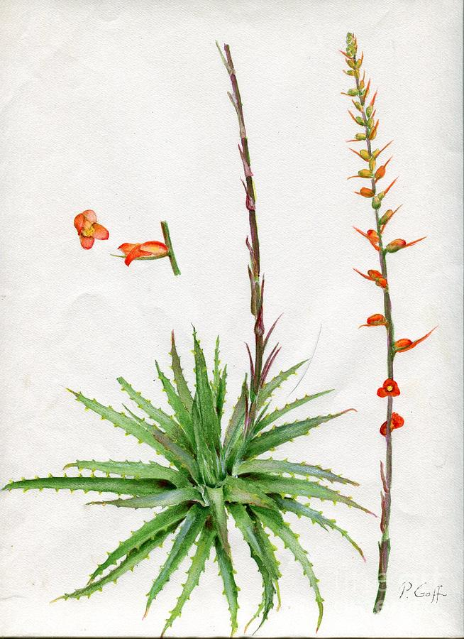 Dyckia platyphylla by Penrith Goff