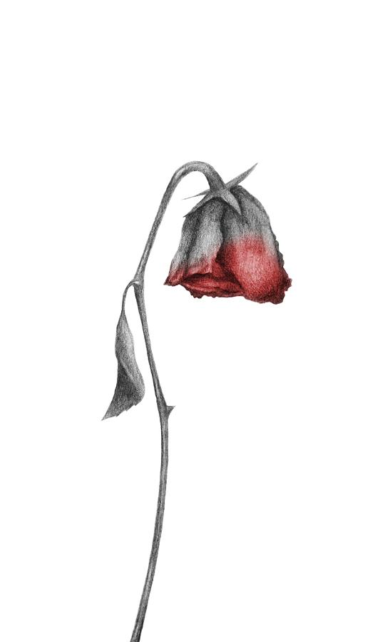 Dying Rose Drawing By Drawings Drawer
