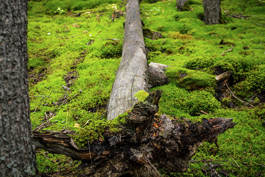 Log Photograph - Dying Tree In The Forest by Alex Rossi