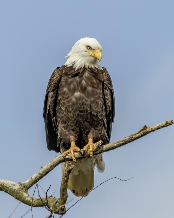 eagle 18 by Pamela S Eaton-Ford