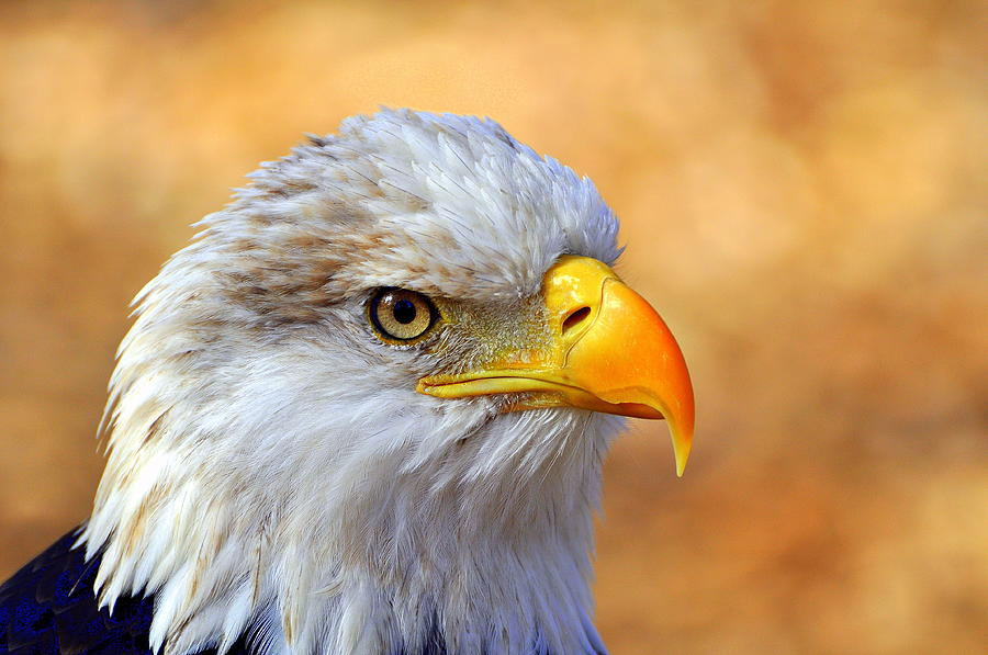 Eagle Photograph - Eagle 7 by Marty Koch