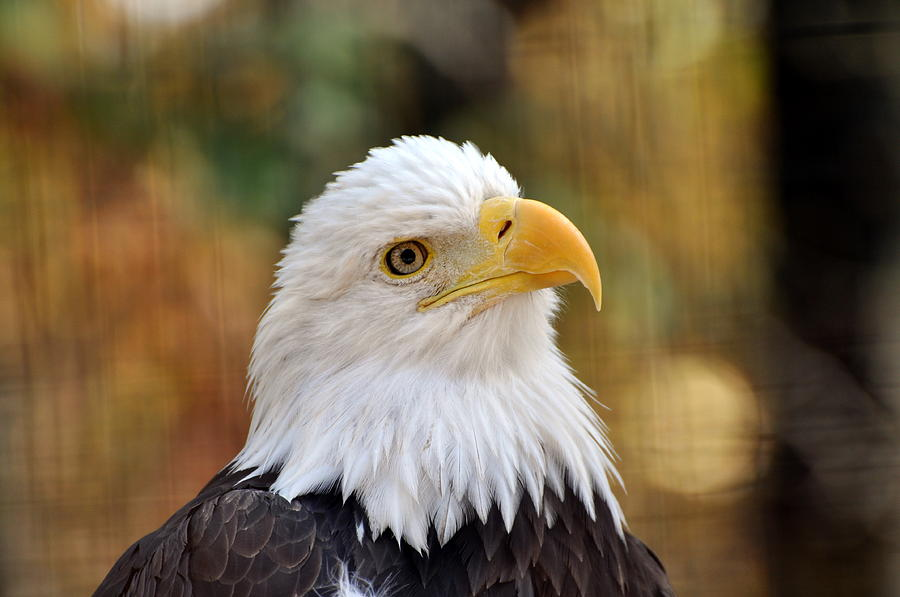 Eagle Photograph - Eagle 9 by Marty Koch