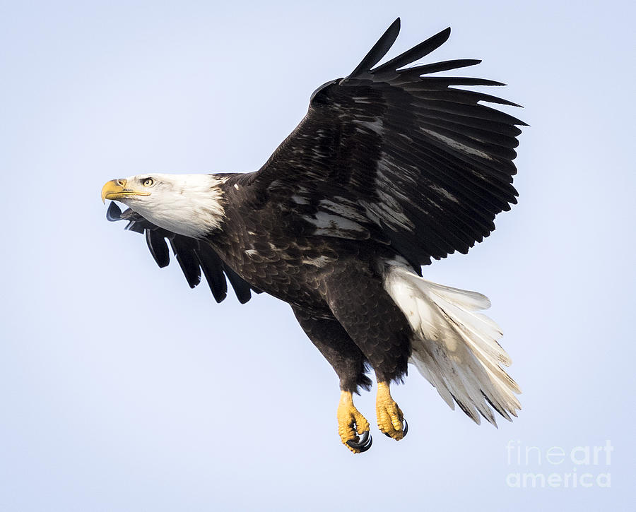 Canon Photograph - Eagle Coming in For a Landing by Ricky L Jones