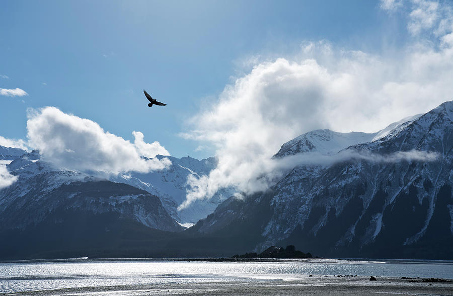 Eagle flying over the Chilkat Inlet by Michele Cornelius