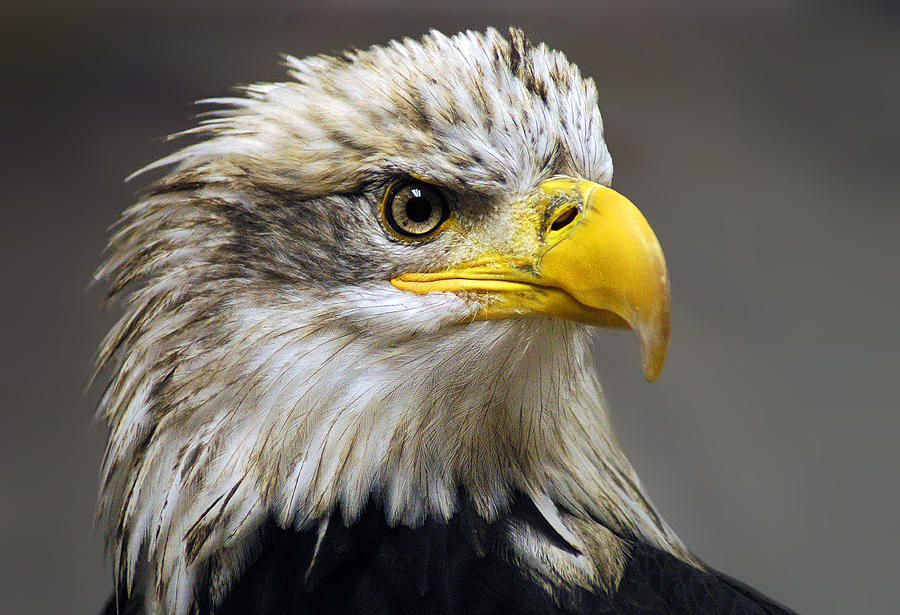 Eagle Photograph - Eagle by Harry Spitz