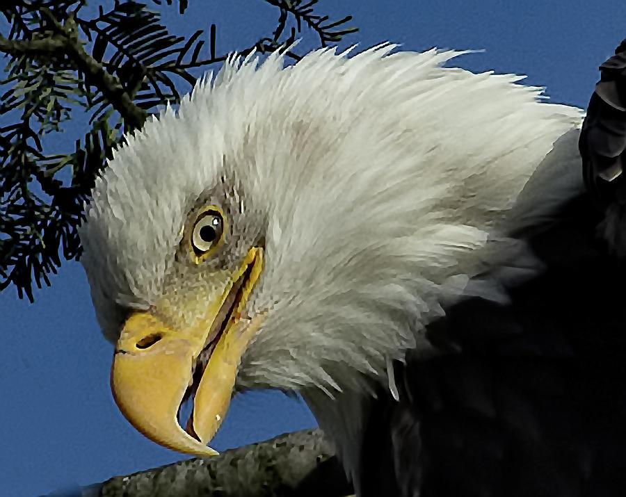 Bald Eagle Photograph - Eagle Head by Sheldon Bilsker