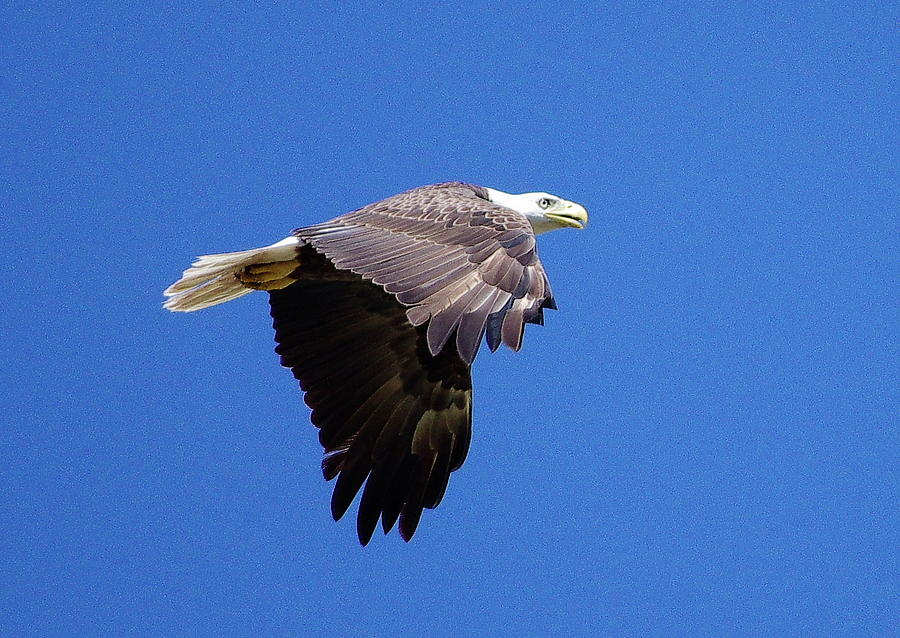 Eagle Photograph - Eagle In Flight by Don Youngclaus