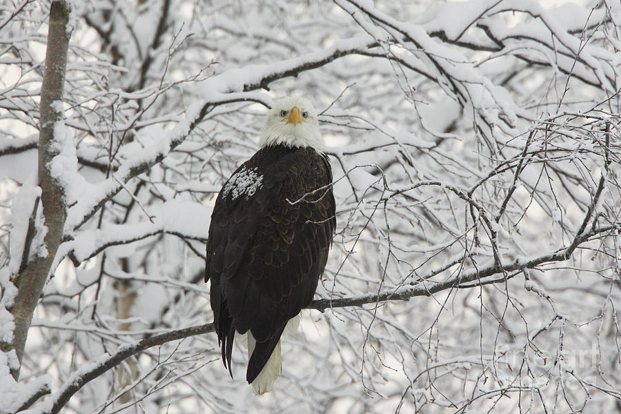 Bald Eagle Photograph - Eagle In Snow by Tim Grams
