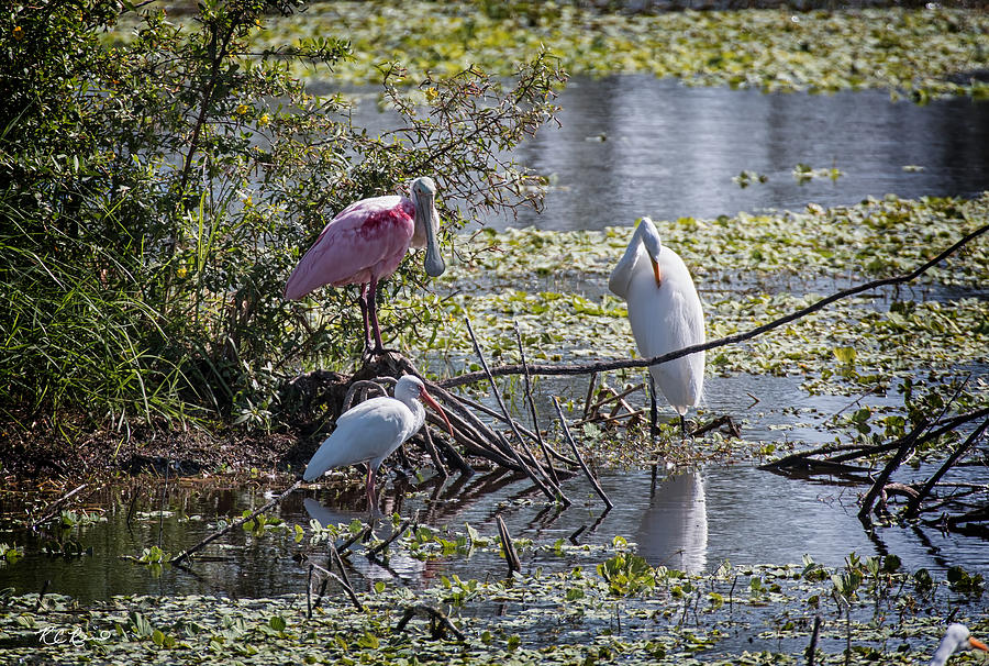Florida Photograph - Eagle Lakes Park - Roseate Spoonbill And Friends, Socializing by Ronald Reid