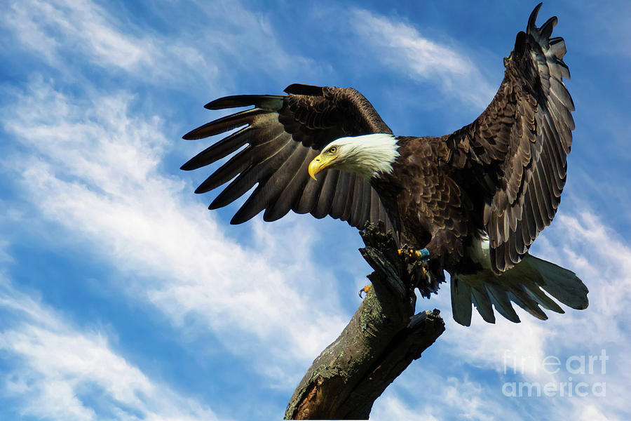 Eagle Landing On A Branch Photograph