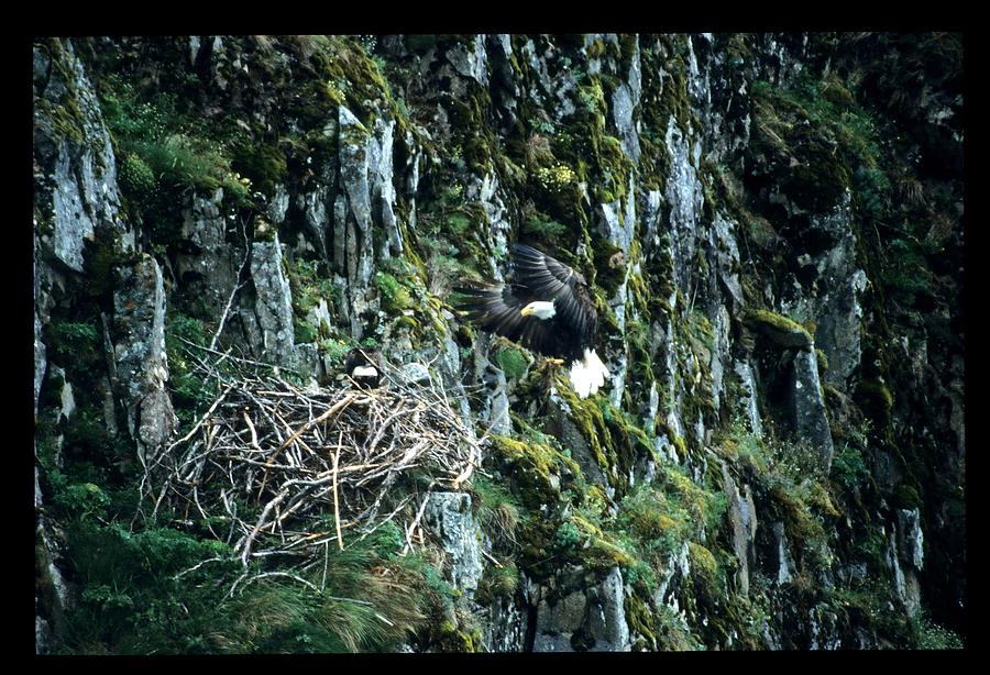 Wildlife Photograph - Eagle Landing On Nest by Larry Allan