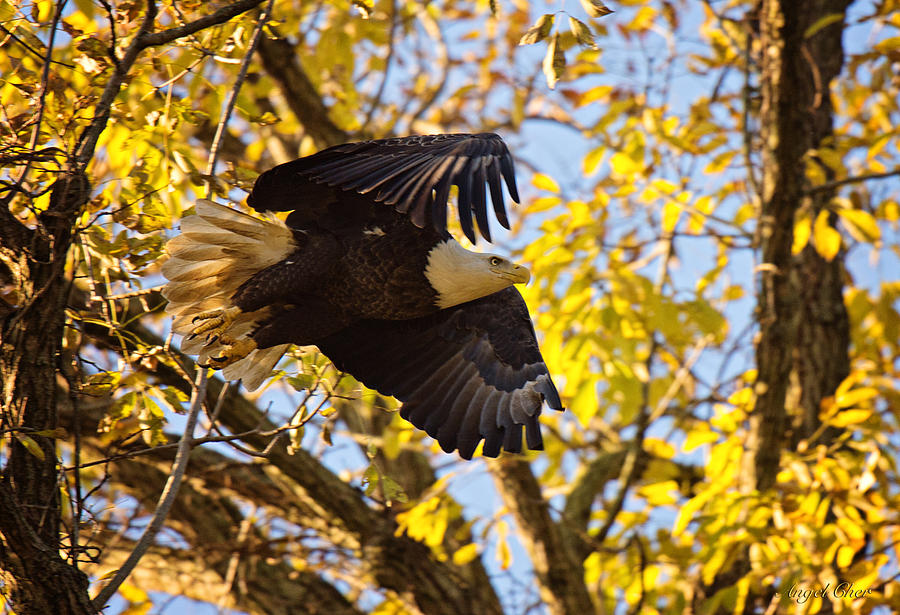 Bald Eagle Photograph - Eagle Launch by Angel Cher