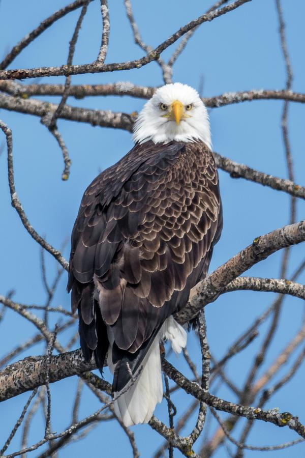Bald Eagle Photograph - Eagle Mean Muggin Me by Paul Freidlund