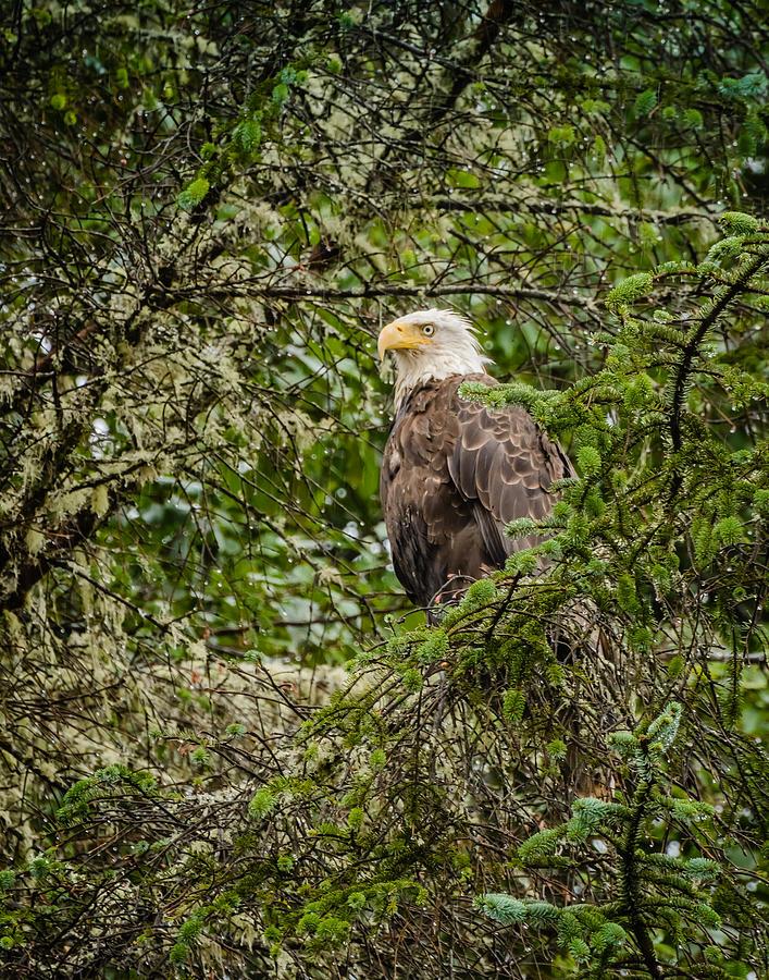 Tree Eagle by Ken Foster