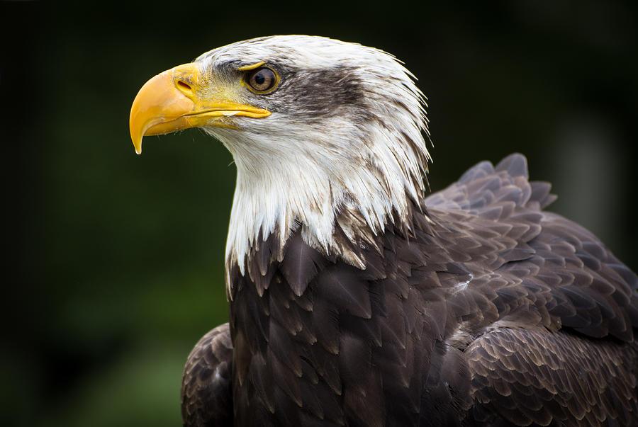 Eagle Photograph - Eagle Portrait by Kyle Hillman