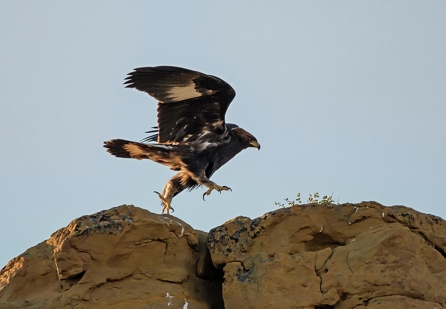 Golden Eagle Photograph - Eagle Rock Hopping by Loree Johnson