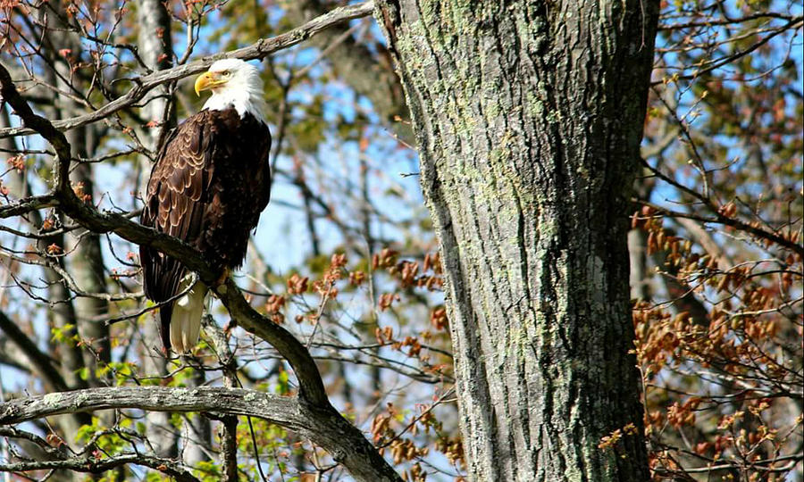 Eagle Photograph - Eagle by Sheila Werth