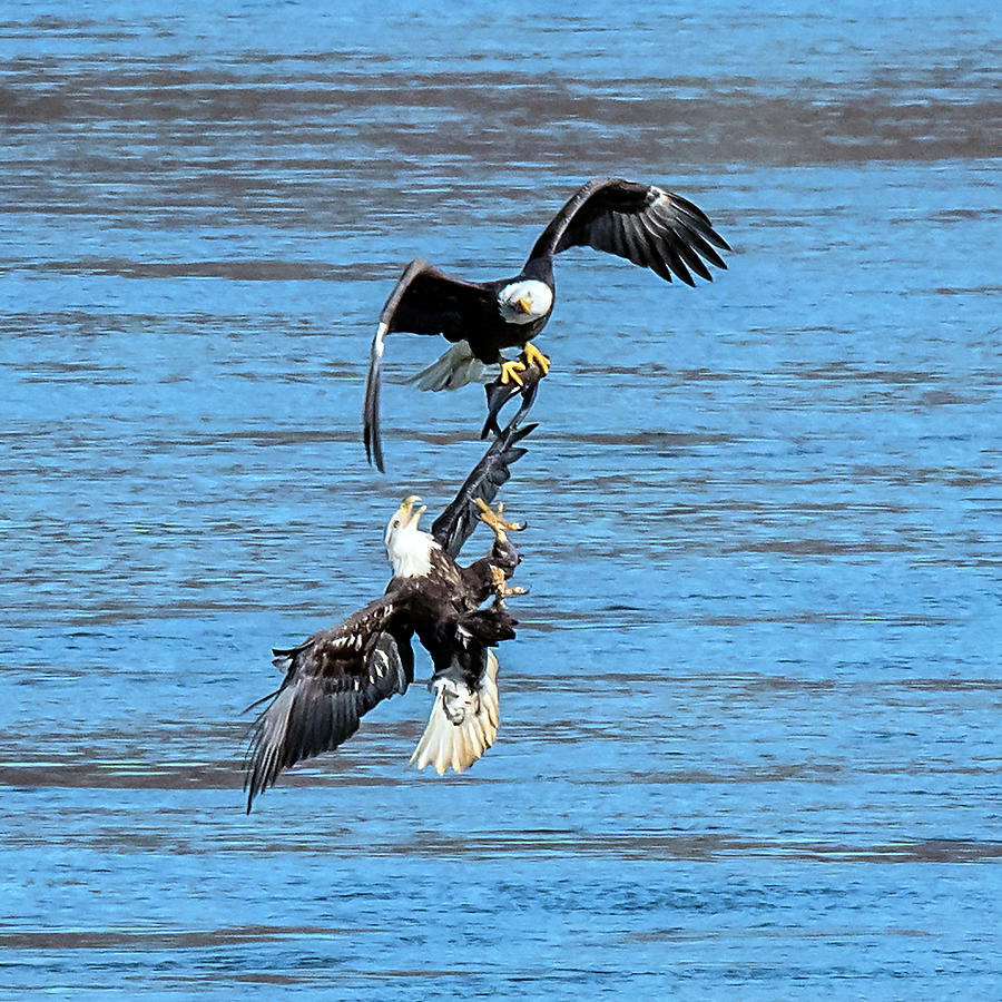 Eagle Trying To Steal A Fish Mid-air  by William Bitman