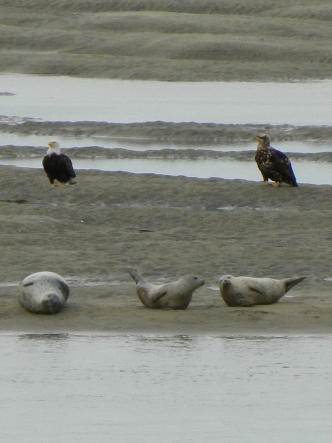 Oregon Photograph - Eagles And Seals by Gallery Of Hope