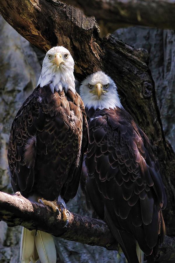 Eagles Photograph - Eagles by Edward Sobuta