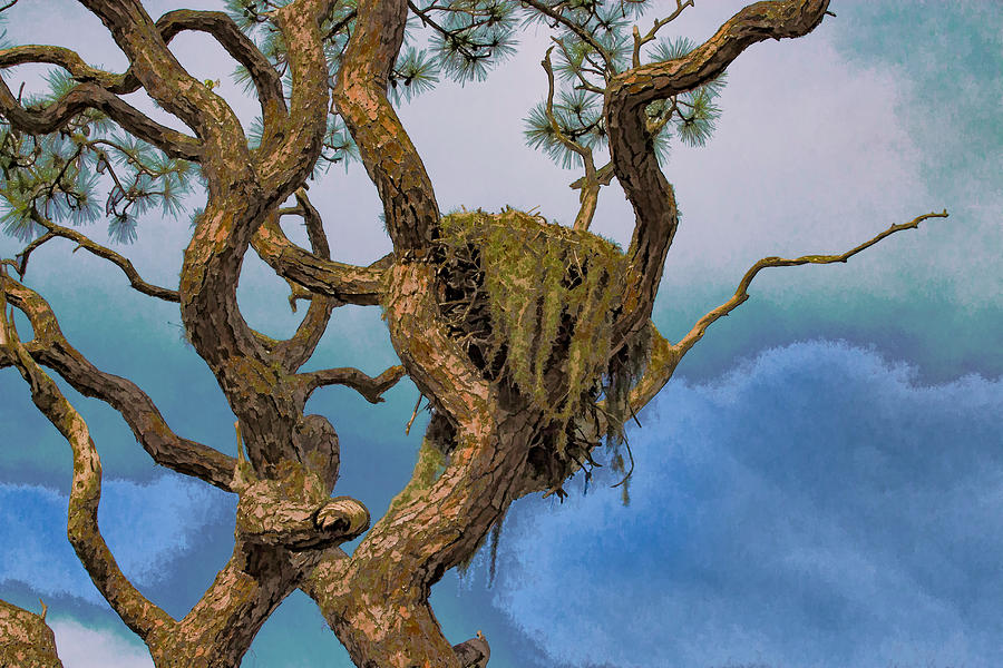 Eagles Nest In Pine Tree Photograph by Richard Goldman