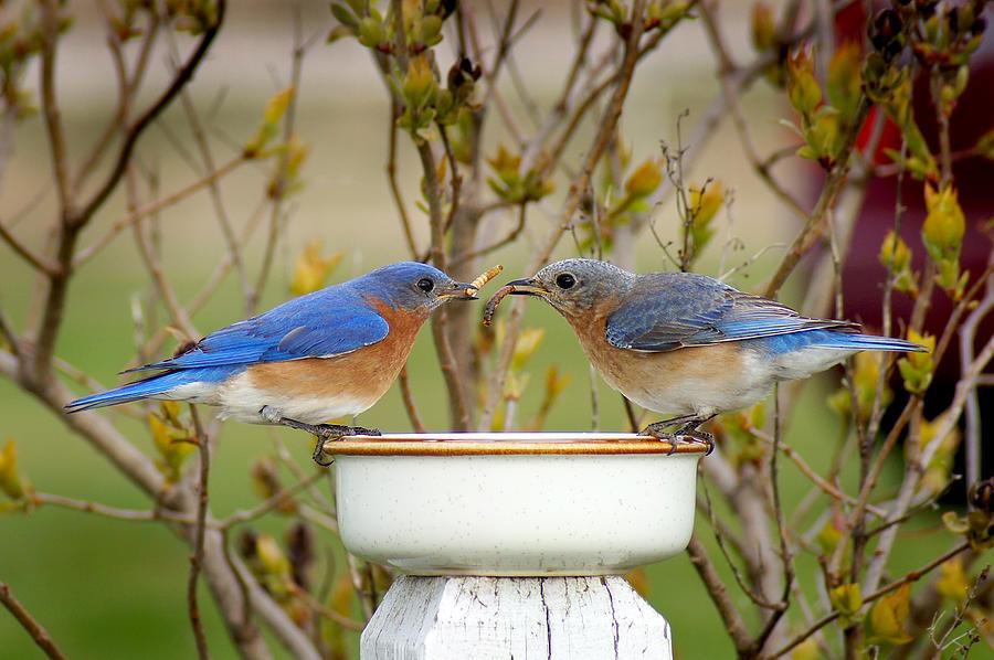 Eastern Bluebirds Photograph - Early Bird Breakfast For Two by Bill Pevlor