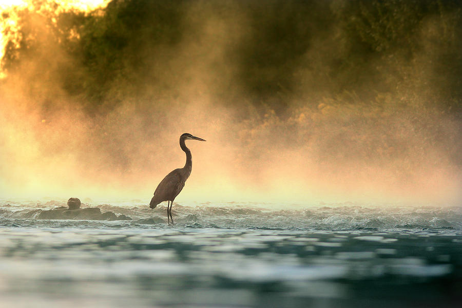 Heron Photograph - Early Bird by Rob Blair