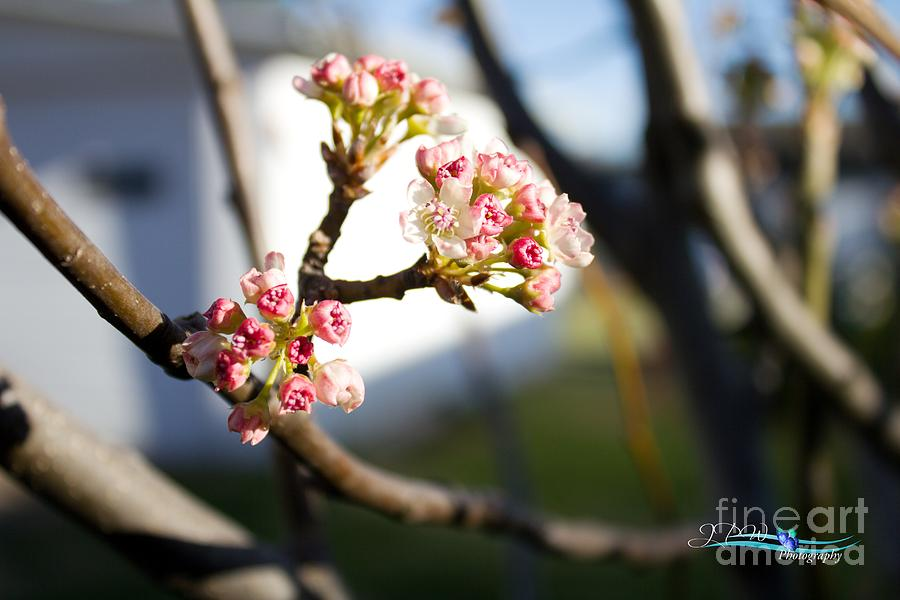 Early Buds Of Spring2 Photograph
