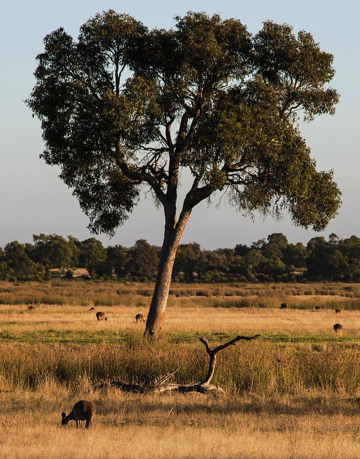 Kangaroos Photograph - Early Morning Feed by Tania Read